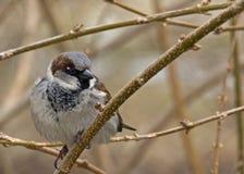 Um Brown pequeno Finch Sitting Alone em um ramo no inverno foto de stock royalty free