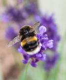 Um Bumblee que recolhe o pólen da alfazema fotografia de stock royalty free