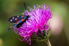 Um burnet do seis-ponto da traça (filipendulae de Zygaena) em uma flor roxa Imagem de Stock Royalty Free