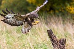 Um busardo selvagem que aterra em um coto de árvore em Inglaterra, Reino Unido fotos de stock