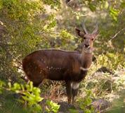 Um Bushbuck alerta foto de stock