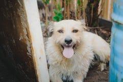 Um cão abandonado puro-sangue encontra-se na terra Retrato, close-up imagens de stock royalty free