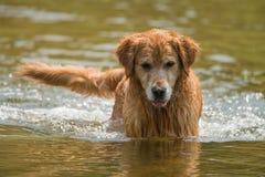 Um cão de natação Fotos de Stock