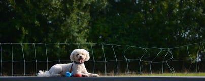 Um cão, Bichon Frise, encontra-se na tabela imagens de stock