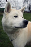 Retrato de akita do japonês Fotos de Stock