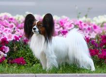 Um cão bonito do papillon está em um fundo das flores Imagens de Stock Royalty Free