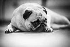 Um cão bonito do Pug imagem de stock