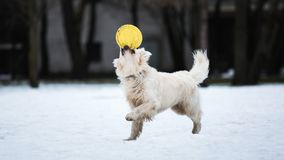 Um cão bonito, bonito e peluches do golden retriever que joga em um parque em um dia de inverno nebuloso Fotografia de Stock