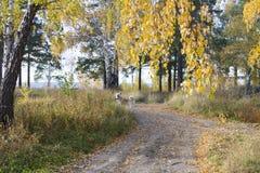 Um cão bonito engraçado de Akita Inu do japonês está na floresta dourada do outono entre as folhas caídas na estrada fotografia de stock