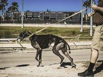 Um cão bonito que prepara-se para uma raça fotografia de stock