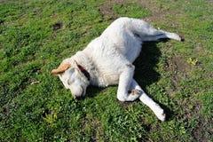 Um cão branco Fotos de Stock Royalty Free