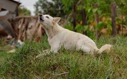 Um cão branco descasca um aviso de um monte da grama fotografia de stock royalty free