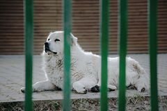 Um cão branco grande do cuvac de Slovensky da patrulha que encontra-se à sombra da área do lago do alume do jezero de Kamencove n Foto de Stock Royalty Free