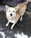 um cão branco no pátio da casa olha os olhos redondos fotos de stock