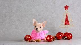 Um cão branco pequeno com as bolas do vermelho do ano novo Foto de Stock