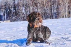 Um cão checo bonito nomeou o fousek de Cesky que relaxa na neve e que espera algumas ações no prado Um cão de caça em real imagem de stock royalty free