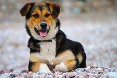 Um cão com fome que olha na distância Imagem de Stock