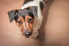 Um cão com um olhar de pedido está no assoalho Pedir uma caminhada ou uma refeição imagens de stock
