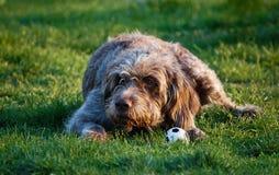 Um cão com um brinquedo Imagens de Stock