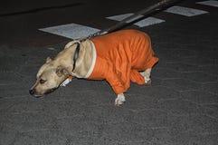 Um cão com uma camisa holandesa da laranja do futebol fotos de stock