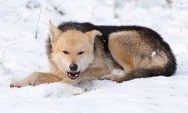 Um cão come a carne na neve Imagens de Stock