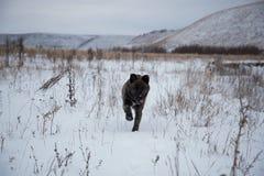 Um cão corre na neve foto de stock royalty free