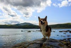 Um cão da raça do pembroke do corgi de galês está orgulhosamente em uma pedra outra vez foto de stock