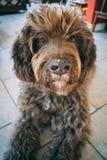 Um cão de água espanhol que olha bonito na casa imagens de stock royalty free
