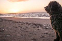 Um cão de água espanhol que olha um por do sol na praia fotografia de stock royalty free