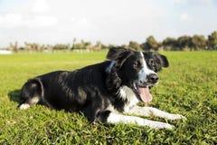 Cão de border collie que descansa na grama do parque imagem de stock royalty free