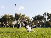 Cão de border collie que busca a bola no parque fotos de stock royalty free