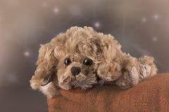 Um cão de brinquedo bonito Fotografia de Stock Royalty Free