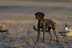 Um cão de caça do pato em um campo de grão Fotos de Stock