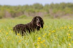 Um cão de caça preto de uma raça dos spaniéis com as orelhas encaracolado longas sorri sobre seu ombro imagens de stock