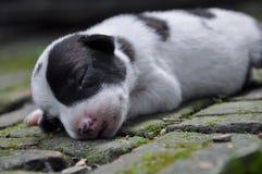 Um cão de cachorrinho 002 Foto de Stock Royalty Free