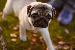 Um cão de cachorrinho bonito, pug está andando e está olhando acima à câmera com uma cara triste, na grama verde e nas folhas de  imagem de stock