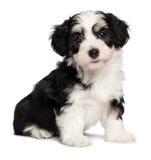 Um cão de cachorrinho havanese tricolor do assento bonito Fotos de Stock