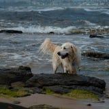 Um cão de cachorrinho molhado do golden retriever que joga no foreshore do mar fotografia de stock