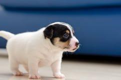 Um cão de cachorrinho muito novo do terrier de russell do jaque está andando em torno do assoalho em casa fotografia de stock