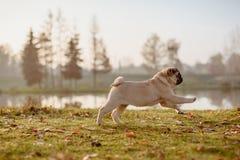 Um cão de cachorrinho, pug é de corrida e de salto em um parque em um outono, dia ensolarado durante a hora dourada fotografia de stock
