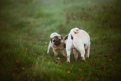 Um cão de cachorrinho, pug com uma cara assustado e sua mãe que a está aspirando em uma grama escura verde, prado, campo ou em um imagens de stock royalty free