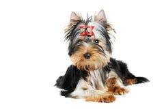 Um cão de filhote de cachorro do terrier de Yorkshire (de três meses) Fotografia de Stock