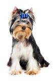 Um cão de filhote de cachorro do terrier de Yorkshire (de três meses) Fotos de Stock Royalty Free
