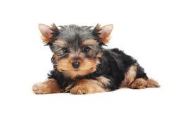 Um cão de filhote de cachorro do terrier de Yorkshire (de três meses) Foto de Stock Royalty Free
