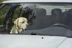 Um cão de Labrador do amarelo senta-se em um carro quente em Finlandia Imagem de Stock Royalty Free