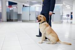 Um cão de Labrador para detectar drogas na posição do aeroporto perto dos costumes guarda Vista horizontal foto de stock royalty free
