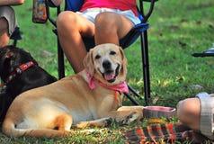 Um cão de Labrador que senta-se junto com seus membros da família e proprietários fotos de stock