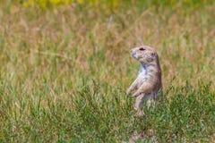 Um cão de pradaria em um campo verde Foto de Stock Royalty Free