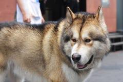 Um cão de puxar trenós siberian gordo fotografia de stock royalty free