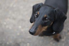 Um cão de salsicha de cabelos curtos do bassê fotografia de stock